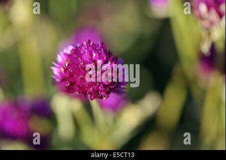 Kugel-Amaranth (Gomphrena Globosa) blühen im Sommer in einem Garten - Stockfoto