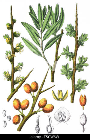 Hippophae Rhamnoides, gemeinsame Sanddorn - Stockfoto