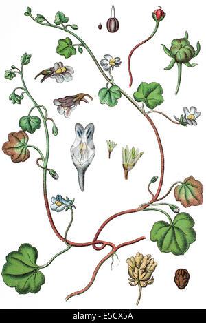 Efeu-leaved Leinkraut oder Kenilworth Ivy, Cymbalaria Muralis, SY: Linaria Cymbalaria Stockfoto