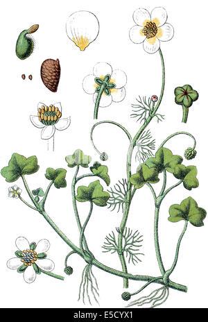 Links: Efeu-leaved Crowfoot, Ranunculus Hederaceus - rechts: Fan-leaved Wasser-Crowfoot, Ranunculus Circinatus Stockfoto