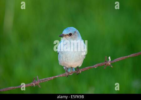 Eine schöne männliche Mountain Bluebird (Sialia Currucoides) thront auf einem Stacheldrahtzaun in der Nähe von Beaverhill - Stockfoto