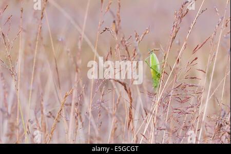 Nahaufnahme einer großen grünen Heuschrecke auf eine Heu-Stroh - Stockfoto