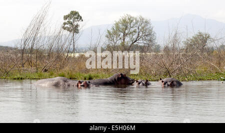 Flusspferde in Lake Naivasha, Kenia - Stockfoto