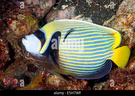Kaiser Angelfish, Pomacanthus Imperator, mit putzergarnelen und eine blaue Streifen cleaner wrasse. - Stockfoto
