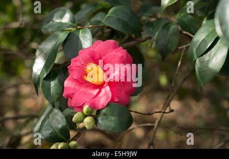 Rosa japanische Pfingstrose Rose Blume - Stockfoto