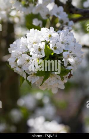 Prunus Avium. Süßkirsche 'Sunburst' Blüte gegen einen roten Backsteinmauer. - Stockfoto