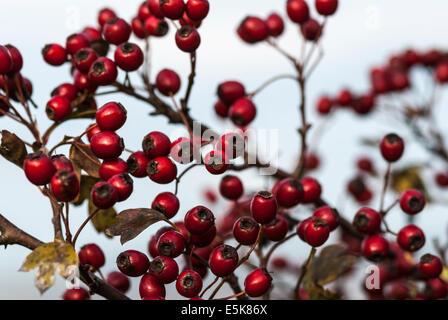Der Weißdorn-Beere, Crataegus Monogyna im Herbst. - Stockfoto