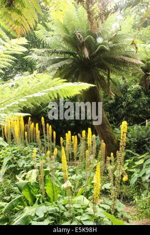Baumfarne und üppiger Vegetation im Farn Gulley, The Jungle, The verloren Gardens of Heligan, Cornwall, England, - Stockfoto
