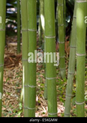 Stand der grünen Bambus. Stämme der Bambus Rasen in einem Sonnenlicht gefleckten Hain. - Stockfoto