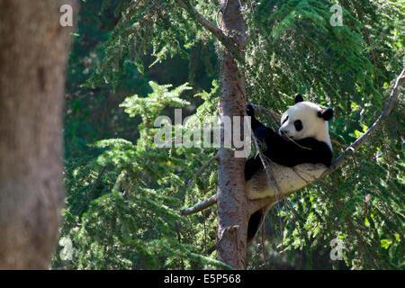 Eine 1 Jahre alte Giant Panda Cub, genannt Xing Bao, mehr als 10 Meter hoch auf einen Baum klettert und dann bequem - Stockfoto