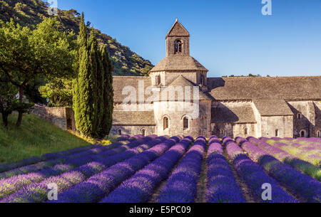 Die romanische Zisterzienser Abtei Notre-Dame von Senanque inmitten von blühenden Lavendel-Felder, in der Nähe von - Stockfoto