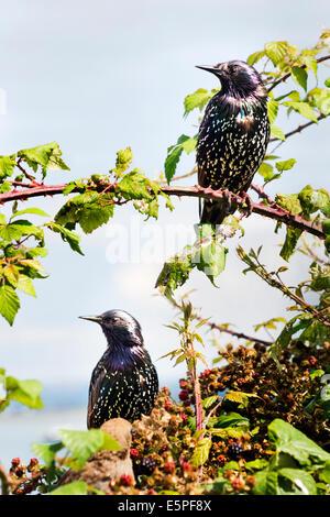 Zwei Stare, lateinischer Name Spottdrosseln, thront auf Brombeeren, Southsea, Hampshire. - Stockfoto