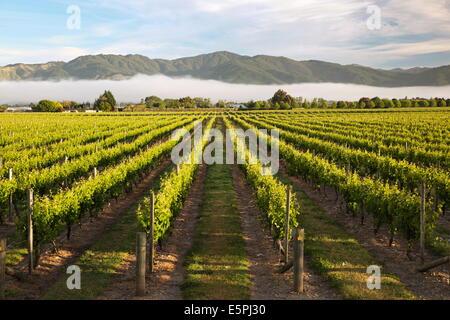 Weinberge im Morgennebel, Renwick, in der Nähe von Blenheim, Marlborough Region, Südinsel, Neuseeland, Pazifik - Stockfoto