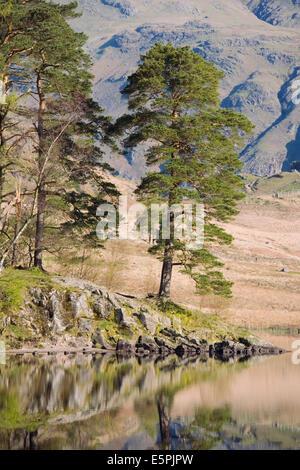 Am frühen Morgen Reflexionen, Blea Tarn, oben wenig Langdale, Nationalpark Lake District, Cumbria, England, Vereinigtes - Stockfoto