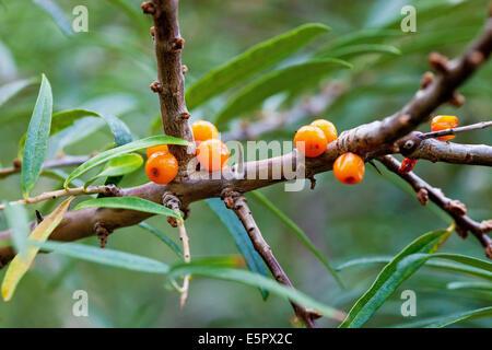 Sanddorn-Beeren (Hippophae Rhamnoides). - Stockfoto