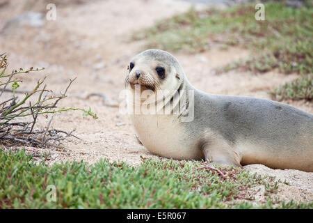 Galapagos-Seelöwe (Zalophus Wollebaecki), Galapagos-Inseln. - Stockfoto