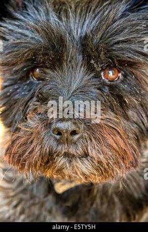 Nahaufnahme eines Cairn Terrier Hund Kopf - Stockfoto