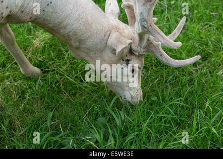 Männliche Damhirsche Essen suchen mit versunkenen Kopf auf frischen grünen Rasen im Sommer - Stockfoto