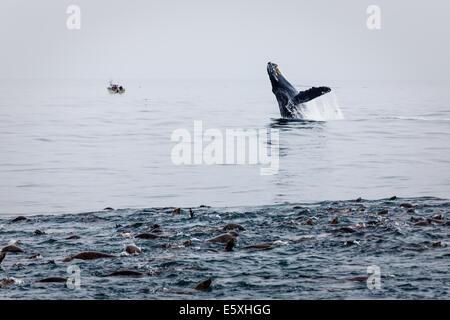 Nahaufnahme von Seelöwen Pod Fressattacke mit Buckelwal verletzt in der Nähe - Stockfoto
