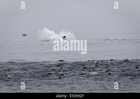 Dramatische Spritzer Buckelwal verletzt in der Nähe ein Seelöwe-Pod in ein gefundenes Fressen - Stockfoto
