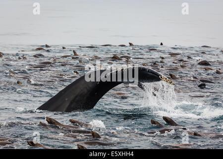 Buckelwal Lobtailing Schwanz ausgesetzt und Seelöwen Schwärmen um - Stockfoto
