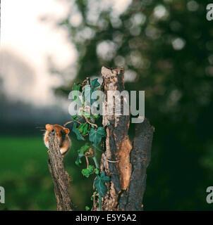 Mimikry-Haselmaus (Muscardinus Avellanarius) getarnt hinter einen Zweig von einem alten Baumstamm - Stockfoto