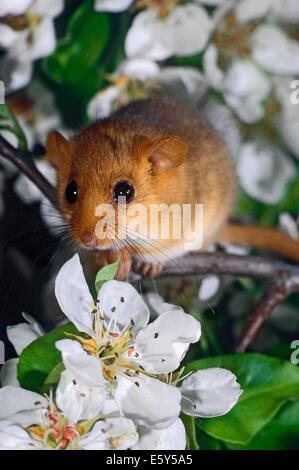 Hazel Dormouse (Muscardinus Avellanarius) unter die Blüten der Birnbaum - Stockfoto