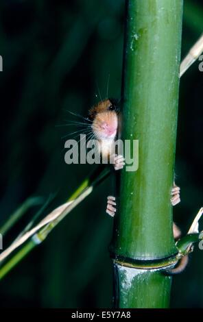 Hazel Dormouse (Muscardinus Avellanarius), das sich hinter einem Bambus verbirgt - Stockfoto