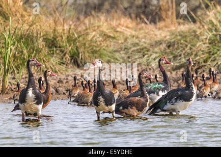 White-faced Whistling Duck & Spur-Winged Gans aka Gambiaan Gans Djoudj Park Senegal - Stockfoto