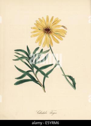Pfeiffersches Cape Marigold, Dimorphotheca Sinuata. - Stockfoto