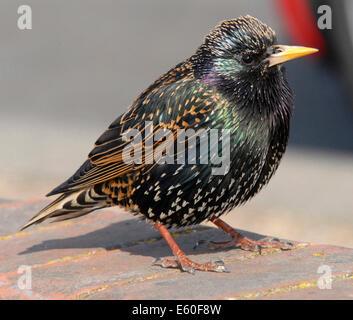 Star (Sturnus vulgaris vulgaris) gut gefallen UK Vogel jetzt rückläufig - Dies ist ein erwachsener Mann. Aus den - Stockfoto