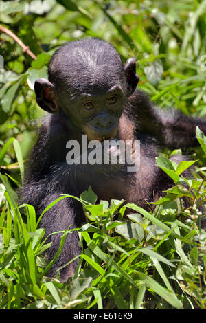Bonobo (Pan Paniscus), Jungtier, Lola ya Bonobo Heiligtum, Kimwenza, Mont Ngafula, Kinshasa - Stockfoto