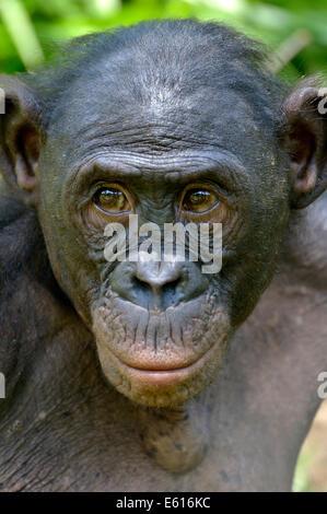 Bonobo (Pan Paniscus), Porträt, Lola ya Bonobo Heiligtum, Kimwenza, Mont Ngafula, Kinshasa, demokratische Republik - Stockfoto
