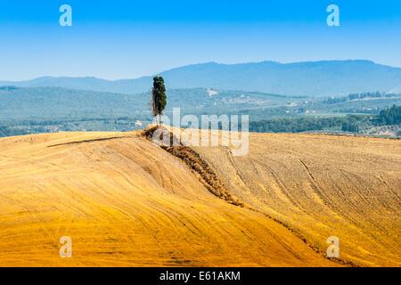einsame Zypressen auf einem Hügel in der Nähe von Asciano in Crete Senesi, Toskana, Italien - Stockfoto