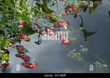 Preiselbeeren im Wasser im Ocean Spray Garten am RHS Hampton Court Palace Flower Show 2014 - Stockfoto