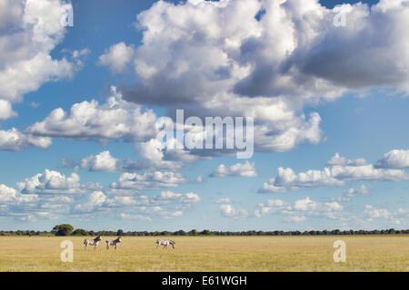 Bangweulu, Sambia, ist der einzige Ort zu sehen, schwarze Letschwe (Kobus Leche Smithemani), die in großen Herden - Stockfoto