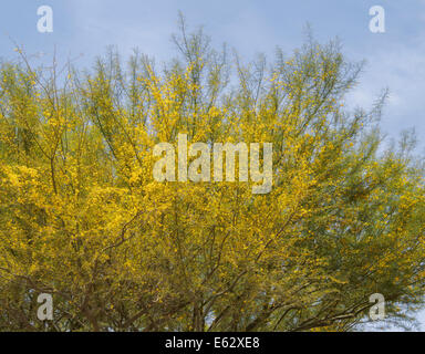 foothill palo verde gelbe paloverde parkinsonia microphylla bl hen in sonora deser usa. Black Bedroom Furniture Sets. Home Design Ideas