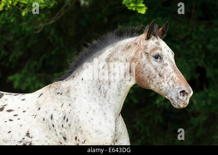 Appaloosa x Pura Raza Espanola. Porträt einer Stute mit fleckige Haut rund um die Schnauze. Österreich - Stockfoto