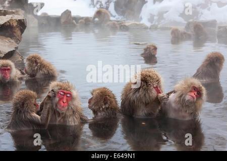 Japanischen Makaken (Macaca Fuscata) / Snow Monkey, Joshin-Etsu Nationalpark, Honshu, Japan