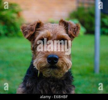 Toby meine Welsh-Terrier - Stockfoto