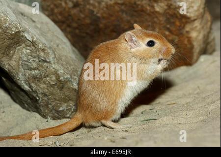 Mongolische Wüstenrennmaus oder mongolischen gehalten (Meriones Unguiculatus), native in der Mongolei, in Gefangenschaft, - Stockfoto