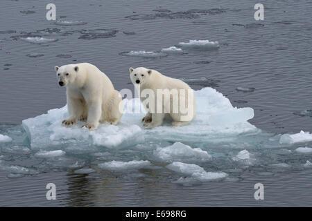Eisbären (Ursus Maritimus), weibliche und Jugendliche auf einer Eisscholle im Packeis, Insel Spitzbergen, Svalbard - Stockfoto