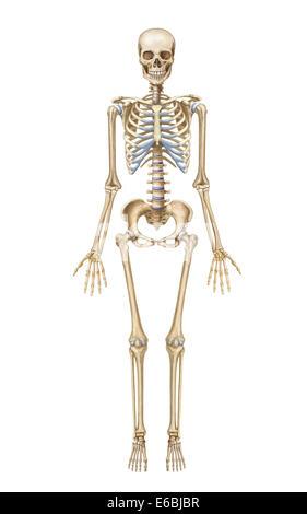 Menschliches Skelett-System, Vorderansicht Stockfoto, Bild: 57643187 ...