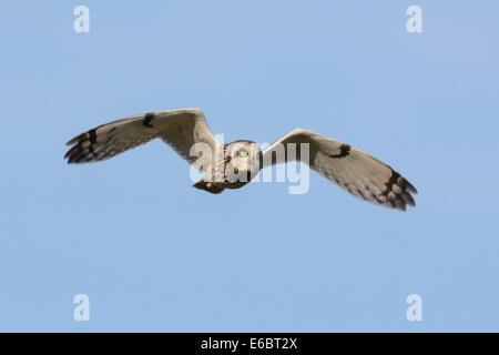 Sumpfohreule (Asio Flammeus) jagen im Flug, North Rhine-Westphalia, Deutschland - Stockfoto