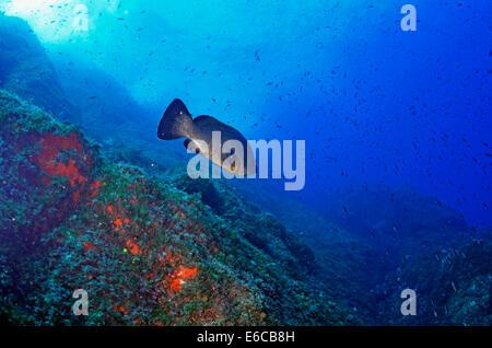 Dusky Grouper Fisch (Epinephelus Marginatus), Port-Cros, Frankreich, Europa - Stockfoto