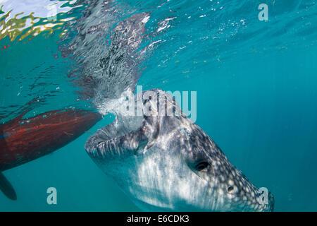 Walhai schnorcheln begegnen im Dorf fährt, auf der Insel Cebu, Philippinen. - Stockfoto
