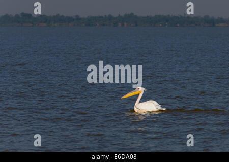 Großer weißer Pelikan (Pelecanus Onocrotalus), See Tana, Äthiopien - Stockfoto
