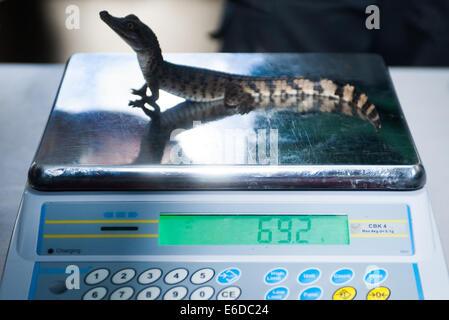 London, UK. 21. August 2014. 7 Wochen Phillipine Krokodil, 79 Gramm, misst während der ZSL London Zoo jährliche - Stockfoto