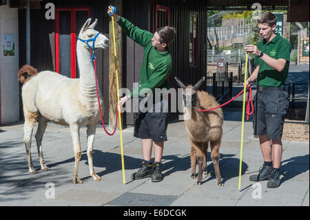 London, UK. 21. August 2014. Tierpfleger Jack Sargent und Adam Davies wiegen und Messen Lamas namens Perry und Mokka - Stockfoto