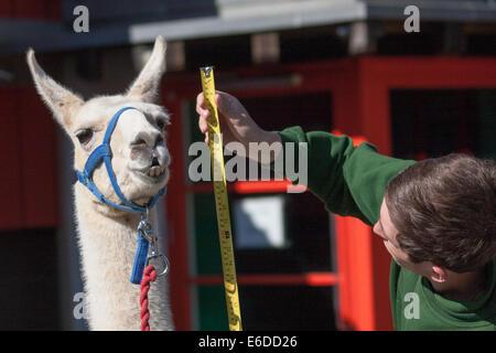 London, UK. 21. August 2014. Zookeper Jack Sargent misst die Höhe des Erwachsenen Lama Perry ZSL London hält seine - Stockfoto